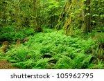 rain forest in macmillan... | Shutterstock . vector #105962795