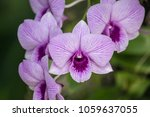 Small photo of Dendrobium is a huge genus of orchids. There are in south, east and southeast Asia. Named from the Greek dendron mean tree and bios mean life all meaning one who lives on trees or epiphyte.