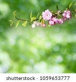 cherry blossoms on defocused...   Shutterstock . vector #1059653777