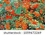 Pyracantha Coccinea  Berries...