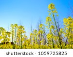 spring rape in rural areas  the ... | Shutterstock . vector #1059725825