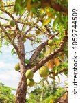 Small photo of green large fruit on a tree branch. fruit tree with fruit in the garden.