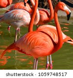 flamingos or flamingoes are a... | Shutterstock . vector #1059748517