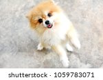 Stock photo cute pomeranian puppy dog stand with backside two legs and lift up front two legs look like dancing 1059783071