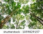 burmese ebony tree forest in... | Shutterstock . vector #1059829157