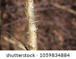 birch tree bark   Shutterstock . vector #1059834884