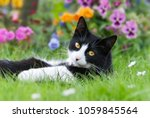 Stock photo a cute cat tuxedo pattern black and white bicolor european shorthair lying on its back in a 1059845564