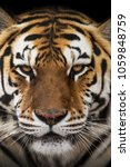 close up view of a siberian... | Shutterstock . vector #1059848759