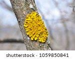 Lichen On Tree Branch. Lichen...