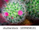 Small Cactus Have Pink Flower...