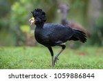 great curassow   crax rubra ...   Shutterstock . vector #1059886844