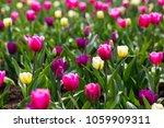 flowers of tulips outdoors in... | Shutterstock . vector #1059909311