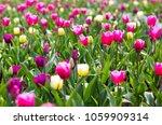 tupils flowers blossom  | Shutterstock . vector #1059909314