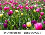 flowers of tulips outdoors in... | Shutterstock . vector #1059909317