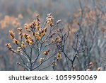 Small photo of Flowering sweet gale in spring