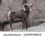 Bighorn Ram Walking Next To Th...