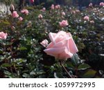 Stock photo rose flowers bright pink rose flowers in the garden 1059972995