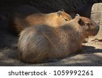 the capybara is the largest... | Shutterstock . vector #1059992261
