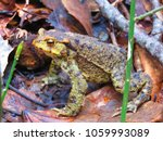 common toad  bufo bufo  | Shutterstock . vector #1059993089