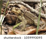 common toad  bufo bufo  | Shutterstock . vector #1059993095