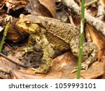 common toad  bufo bufo  | Shutterstock . vector #1059993101