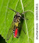 Small photo of Bug Diptera black, yellow and red extreme close up photo