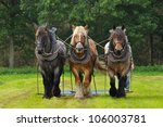 three belgian heavy horses at a ...