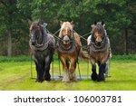 three belgian heavy horses at a ...
