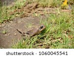 cane toad in natural habitat | Shutterstock . vector #1060045541