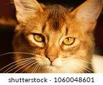 portrait of a somali kitten.... | Shutterstock . vector #1060048601