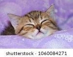 Stock photo the scottish kitten is asleep the kitten closed his eyes 1060084271
