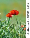 red poppy flowers in the green... | Shutterstock . vector #1060112465