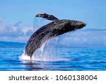 exposive breach of a humpback... | Shutterstock . vector #1060138004