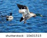 mallard duck | Shutterstock . vector #10601515
