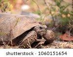 Florida Gopher Tortoise...