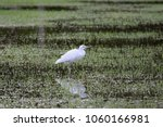 Snowy Egret Wading In Swampy...