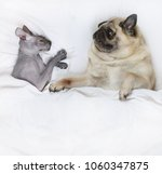 pug dog lying in bed with a... | Shutterstock . vector #1060347875