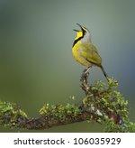 bokmakierie bird calling  ... | Shutterstock . vector #106035929