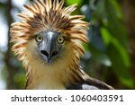 Small photo of The Philippine eagle (Pithecophaga jefferyi) is one of the most endangered bird species in the world. It is believed that less than 500 pairs survive in the wild.