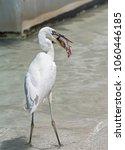 great egret  ardea alba  eating ... | Shutterstock . vector #1060446185