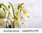 snowdrop flowers isolated on... | Shutterstock . vector #1060491299