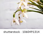 snowdrop flowers isolated on...   Shutterstock . vector #1060491314