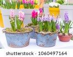 Fresh Multicolors Of Hyacinth...