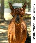 alpaca eating her food | Shutterstock . vector #1060501817