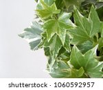 Hedera Leaves In Closeup   Ivy...