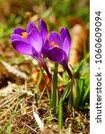 crocus  saffron    spring flower   Shutterstock . vector #1060609094