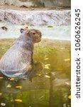 capybara in thai  thailand.   Shutterstock . vector #1060626245