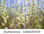 Bright spring background with a flowering willow on a blue sky background, yellow-blue