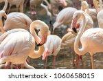 flamingo in the zoo thailand | Shutterstock . vector #1060658015