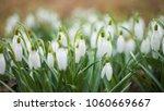 snowdrop spring flowers....   Shutterstock . vector #1060669667
